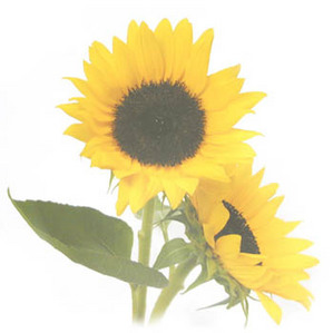 f-sunflower02-r